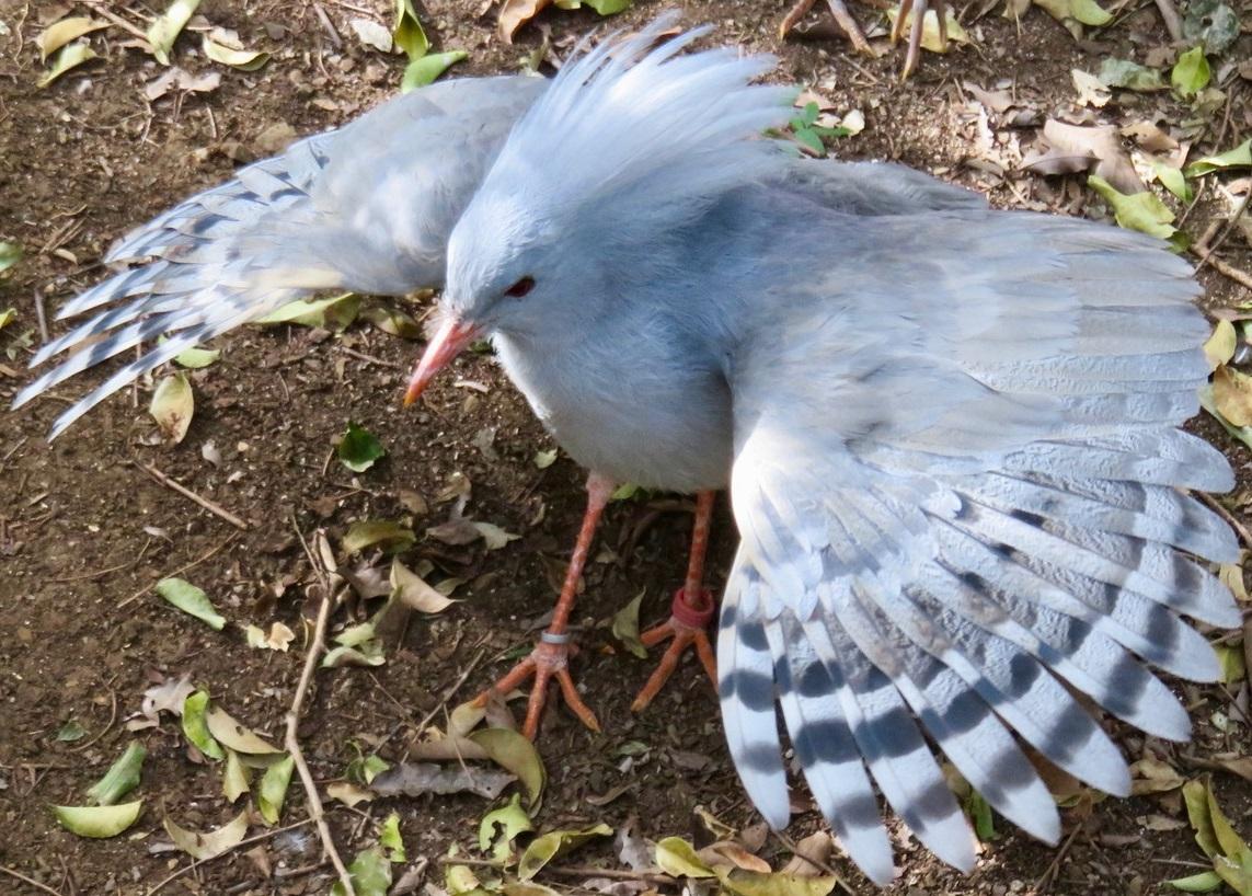 Новая Каледония 50 сантим 1949 птица Кагу фауна